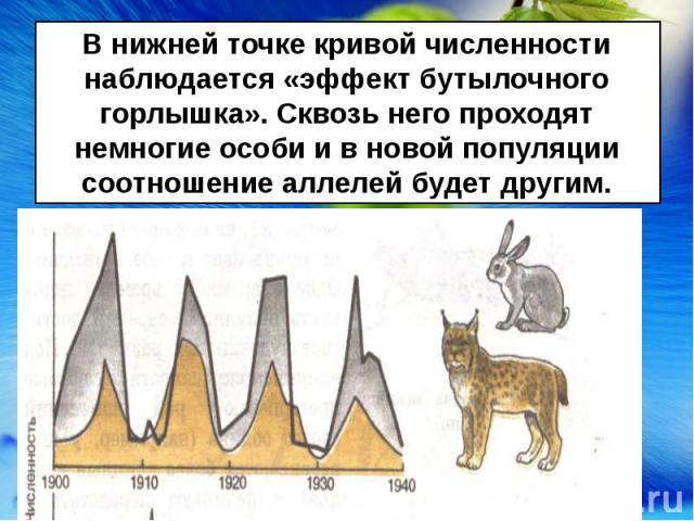 В нижней точке кривой численности наблюдается «эффект бутылочного горлышка». Сквозь него проходят немногие особи и в новой популяции соотношение аллелей будет другим.