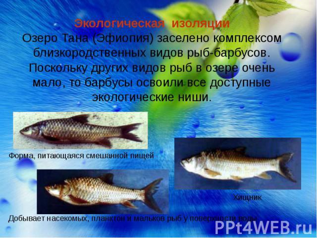 Экологическая изоляцииОзеро Тана (Эфиопия) заселено комплексом близкородственных видов рыб-барбусов. Поскольку других видов рыб в озере очень мало, то барбусы освоили все доступные экологические ниши. Форма, питающаяся смешанной пищей Добывает насек…