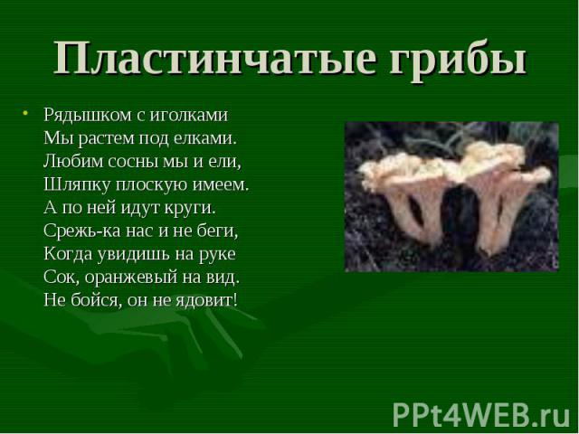 Пластинчатые грибы Рядышком с иголкамиМы растем под елками.Любим сосны мы и ели, Шляпку плоскую имеем.А по ней идут круги.Срежь-ка нас и не беги,Когда увидишь на рукеСок, оранжевый на вид.Не бойся, он не ядовит!