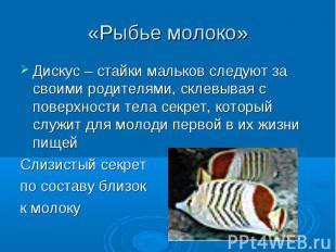 «Рыбье молоко» Дискус – стайки мальков следуют за своими родителями, склевывая с