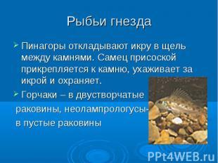 Рыбьи гнезда Пинагоры откладывают икру в щель между камнями. Самец присоской при