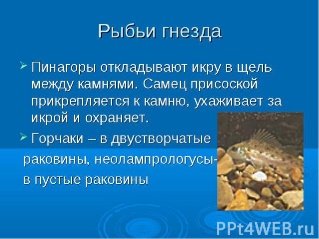 Рыбьи гнезда Пинагоры откладывают икру в щель между камнями. Самец присоской прикрепляется к камню, ухаживает за икрой и охраняет.Горчаки – в двустворчатые раковины, неолампрологусы- в пустые раковины