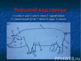 Внешний вид свиньи 1- голова 2- уши 3- шея 4- спина 5- задний окорок 6- скакател