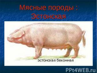 Мясные породы : Эстонская