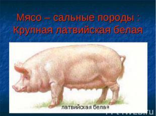 Мясо – сальные породы :Крупная латвийская белая