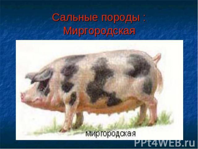 Сальные породы :Миргородская