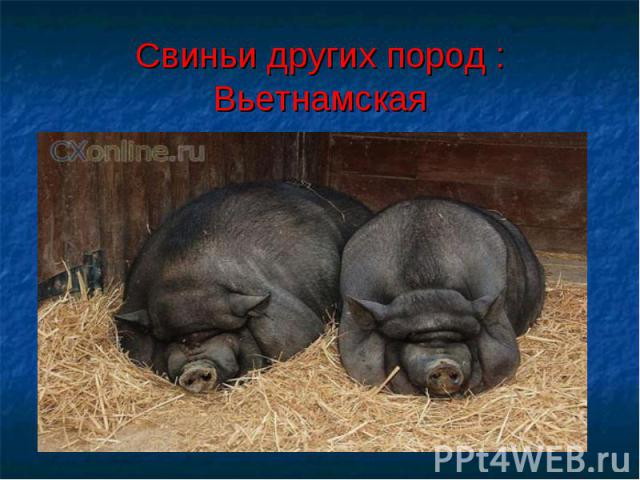 Свиньи других пород :Вьетнамская