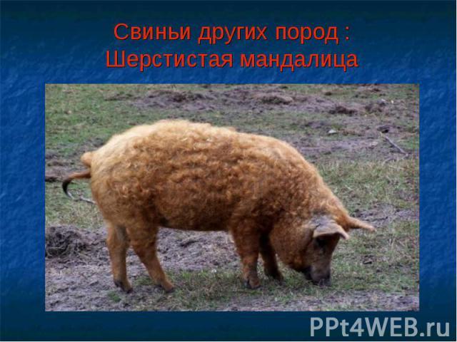 Свиньи других пород :Шерстистая мандалица