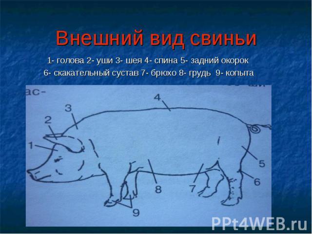 Внешний вид свиньи 1- голова 2- уши 3- шея 4- спина 5- задний окорок 6- скакательный сустав 7- брюхо 8- грудь 9- копыта