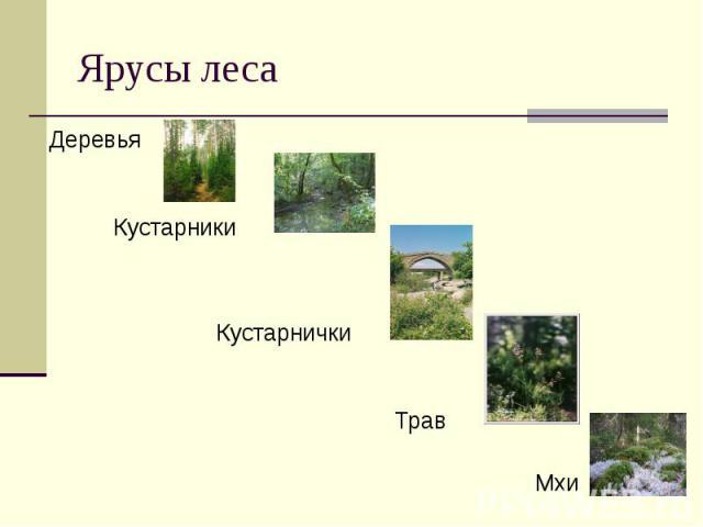 Ярусы леса ДеревьяКустарники Кустарнички Трав Мхи