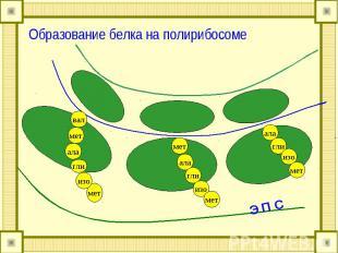 Образование белка на полирибосоме