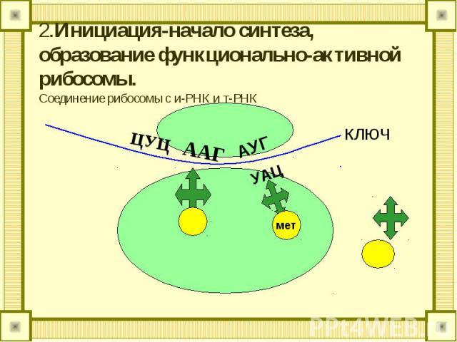 2.Инициация-начало синтеза, образование функционально-активной рибосомы.Соединение рибосомы с и-РНК и т-РНК