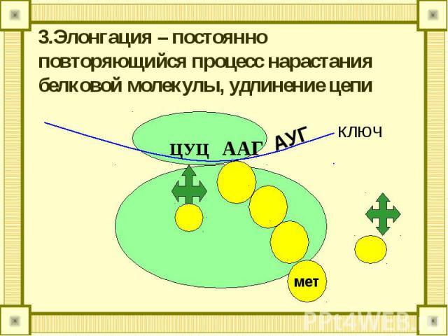 3.Элонгация – постоянно повторяющийся процесс нарастания белковой молекулы, удлинение цепи