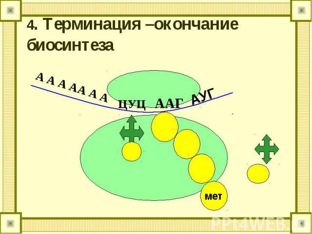 4. Терминация –окончание биосинтеза