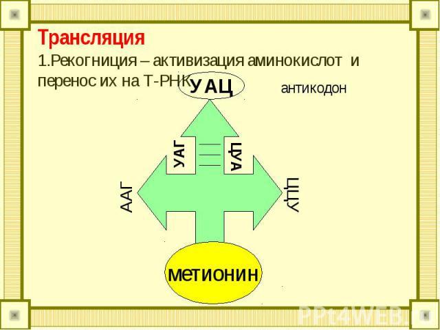 Трансляция 1.Рекогниция – активизация аминокислот и перенос их на Т-РНК