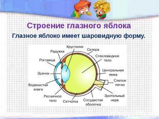 Строение глазного яблока Глазное яблоко имеет шаровидную форму.