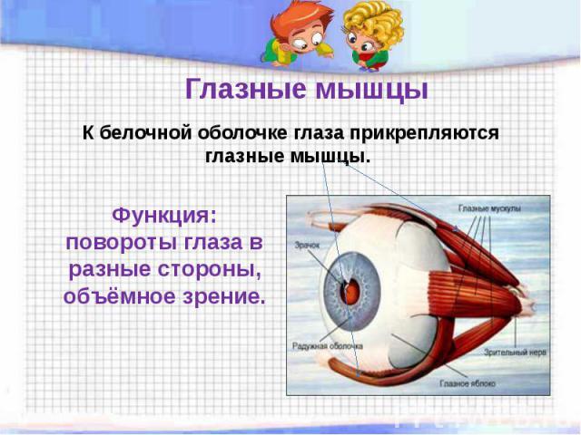Глазные мышцы К белочной оболочке глаза прикрепляются глазные мышцы. Функция: повороты глаза в разные стороны, объёмное зрение.
