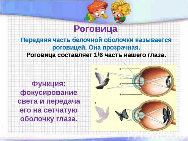 Роговица Передняя часть белочной оболочки называетсяроговицей. Она прозрачная.Роговица составляет 1/6 часть нашего глаза. Функция: фокусирование света и передача его на сетчатую оболочку глаза.