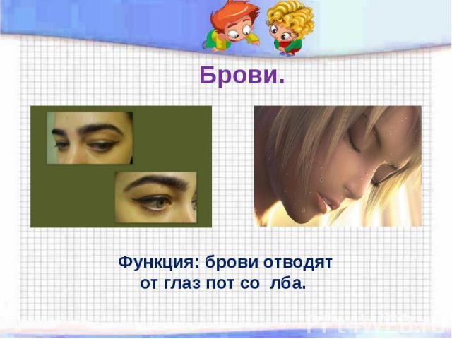 Брови. Функция: брови отводят от глаз пот со лба.