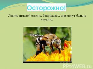 Осторожно!Ловить шмелей опасно. Защищаясь, они могут больно укусить.
