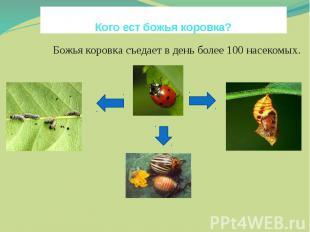 Кого ест божья коровка?Божья коровка съедает в день более 100 насекомых. яйцаВ г