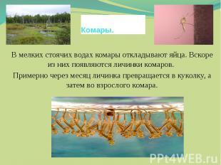 Комары.В мелких стоячих водах комары откладывают яйца. Вскоре из них появляются