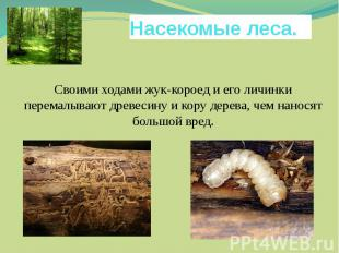 Насекомые леса. Своими ходами жук-короед и его личинки перемалывают древесину и
