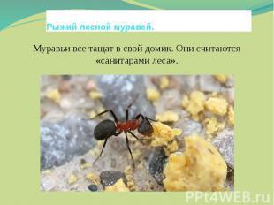 Рыжий лесной муравей.Муравьи все тащат в свой домик. Они считаются «санитарами л