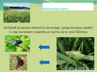 Насекомые луга.Зелёный кузнечик питается листьями, среди которых живёт. А еще он