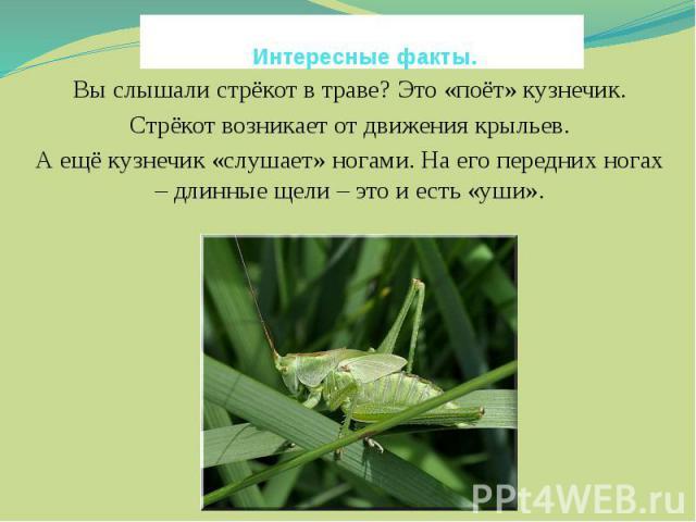 Интересные факты. Вы слышали стрёкот в траве? Это «поёт» кузнечик.Стрёкот возникает от движения крыльев.А ещё кузнечик «слушает» ногами. На его передних ногах – длинные щели – это и есть «уши».
