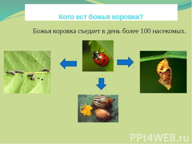 Кого ест божья коровка?Божья коровка съедает в день более 100 насекомых. яйцаВ гокуколок