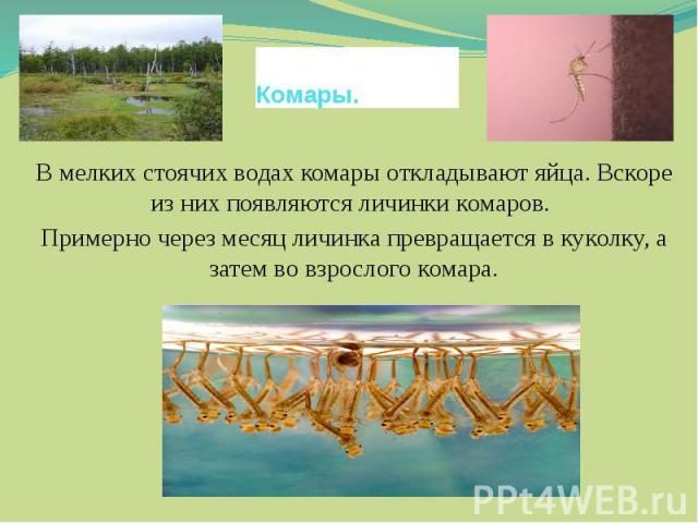 Комары.В мелких стоячих водах комары откладывают яйца. Вскоре из них появляются личинки комаров. Примерно через месяц личинка превращается в куколку, а затем во взрослого комара.