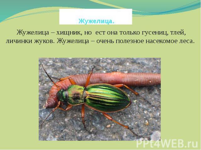 Жужелица. Жужелица – хищник, но ест она только гусениц, тлей, личинки жуков. Жужелица – очень полезное насекомое леса.