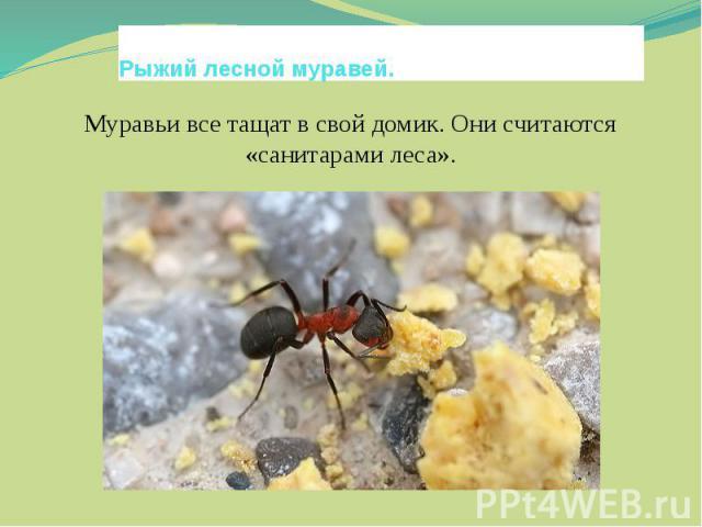 Рыжий лесной муравей.Муравьи все тащат в свой домик. Они считаются «санитарами леса».