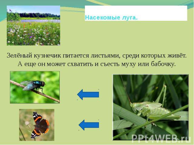 Насекомые луга.Зелёный кузнечик питается листьями, среди которых живёт. А еще он может схватить и съесть муху или бабочку.