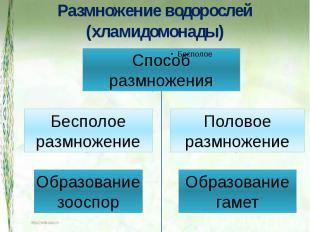 Размножение водорослей (хламидомонады) СпособразмноженияБесполоеразмножениеОбраз