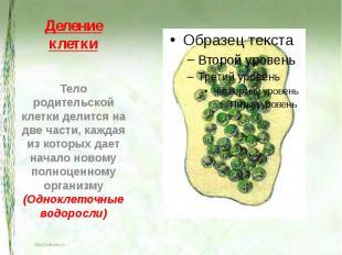 Деление клетки Тело родительской клетки делится на две части, каждая из которых