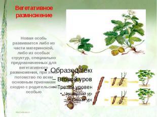 Вегетативное размножение Новая особь развивается либо из части материнской, либо
