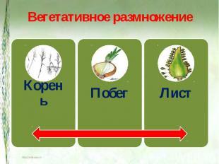 Вегетативное размножение КореньПобегЛист