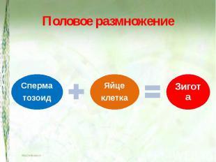 Половое размножение СперматозоидЯйцеклеткаЗигота