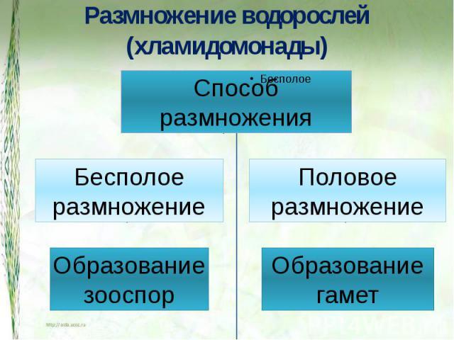 Размножение водорослей (хламидомонады) СпособразмноженияБесполоеразмножениеОбразованиезооспорПоловоеразмножениеОбразованиегамет