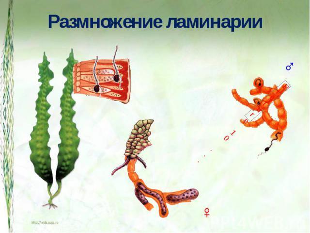 Размножение ламинарии