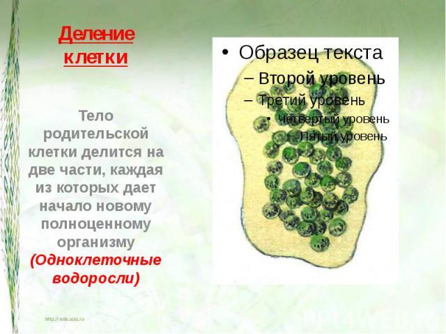 Деление клетки Тело родительской клетки делится на две части, каждая из которых дает начало новому полноценному организму(Одноклеточные водоросли)