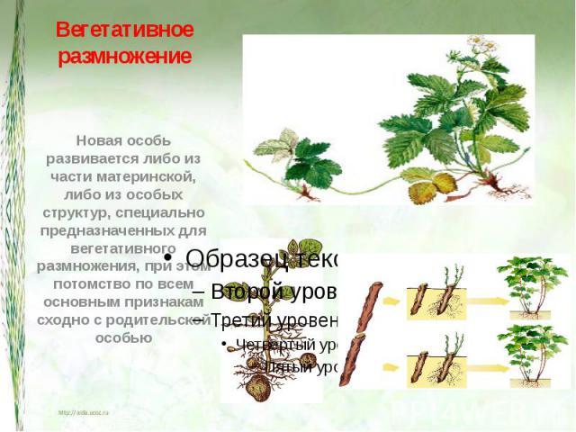 Вегетативное размножение Новая особь развивается либо из части материнской, либо из особых структур, специально предназначенных для вегетативного размножения, при этом потомство по всем основным признакам сходно с родительской особью