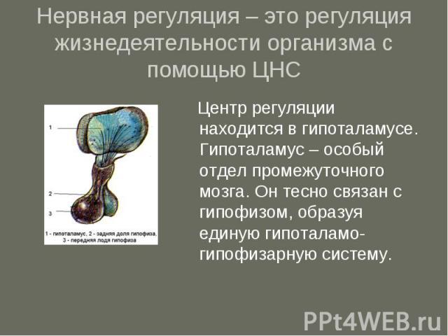 Нервная регуляция – это регуляция жизнедеятельности организма с помощью ЦНС Центр регуляции находится в гипоталамусе. Гипоталамус – особый отдел промежуточного мозга. Он тесно связан с гипофизом, образуя единую гипоталамо-гипофизарную систему.