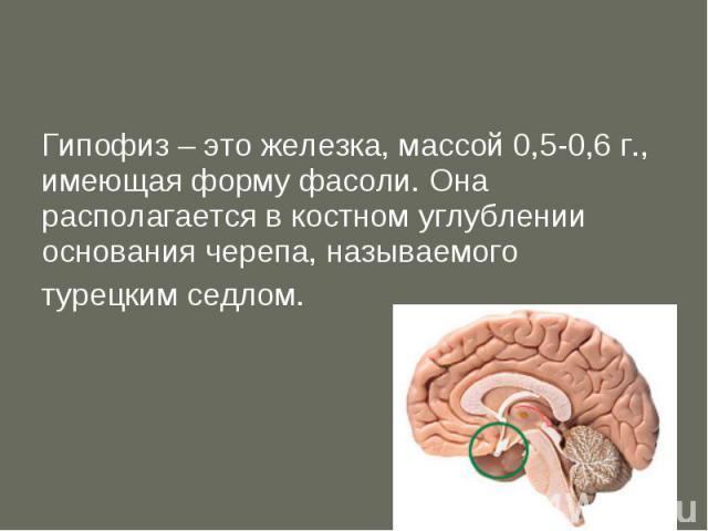 Гипофиз – это железка, массой 0,5-0,6 г., имеющая форму фасоли. Она располагается в костном углублении основания черепа, называемого турецким седлом.