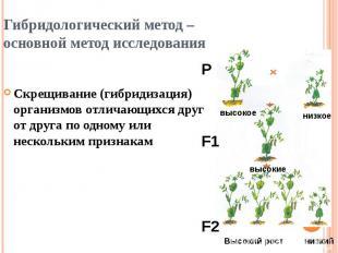 Гибридологический метод – основной метод исследования Скрещивание (гибридизация)