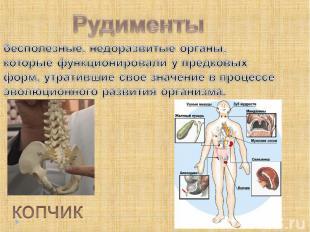 Рудименты бесполезные, недоразвитые органы, которые функционировали у предковых
