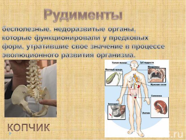 Рудименты бесполезные, недоразвитые органы, которые функционировали у предковых форм, утратившие свое значение в процессе эволюционного развития организма. копчик