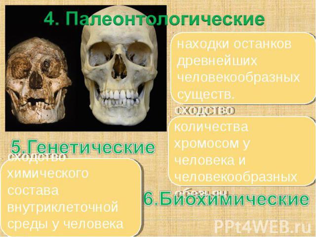 4. Палеонтологические находки останков древнейших человекообразных существ. сходство количества хромосом у человека и человекообразных обезьян. сходство химического состава внутриклеточной среды у человека и животных 5.Генетические 6.Биохимические